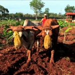 Oxen have replaced tractors in many parts in Cuba